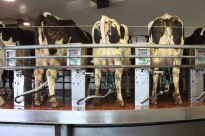 Cows on the milking stage with milk collected by the vacuum pumps